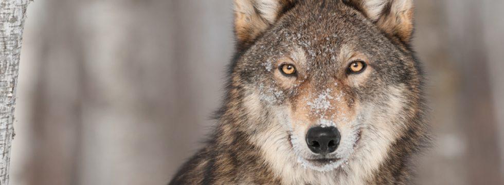 Wildniszeit Wolf